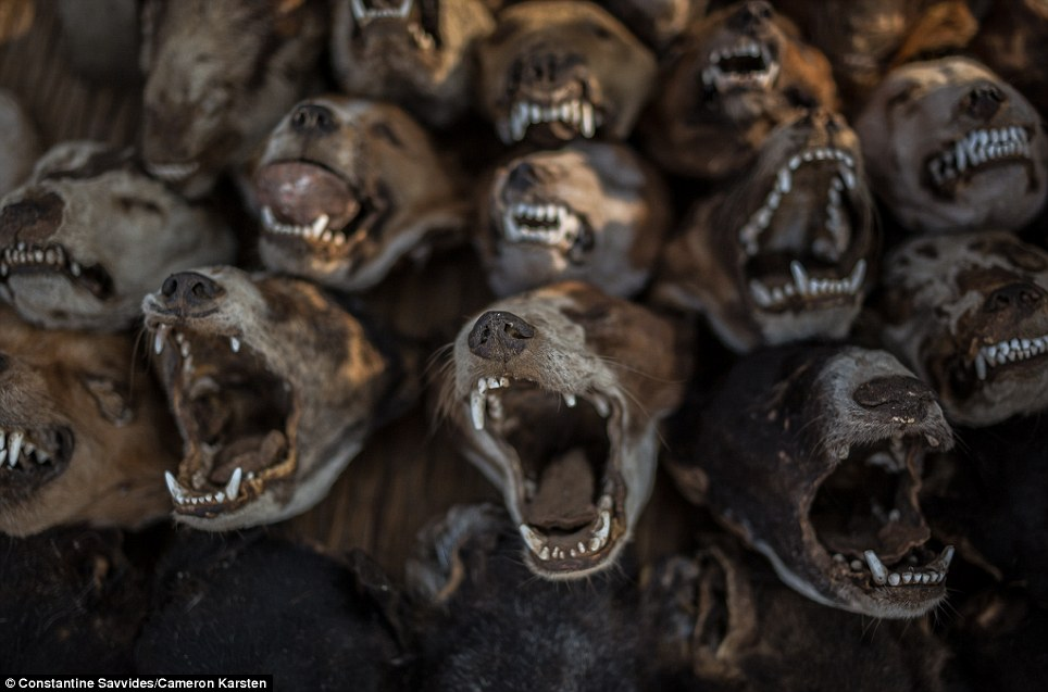 سوق رؤوس الحيوانات- توغو.