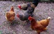 نفوق المئات من طيور الدجاج الوطني بمناطق شرق طبرق